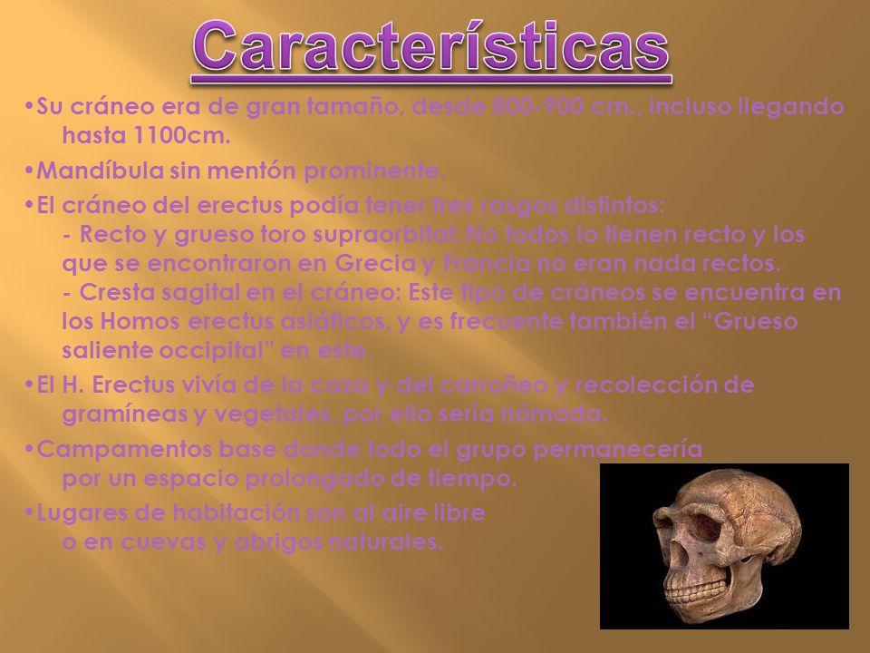 Su cráneo era de gran tamaño, desde 800-900 cm., incluso llegando hasta 1100cm. Mandíbula sin mentón prominente. El cráneo del erectus podía tener tre