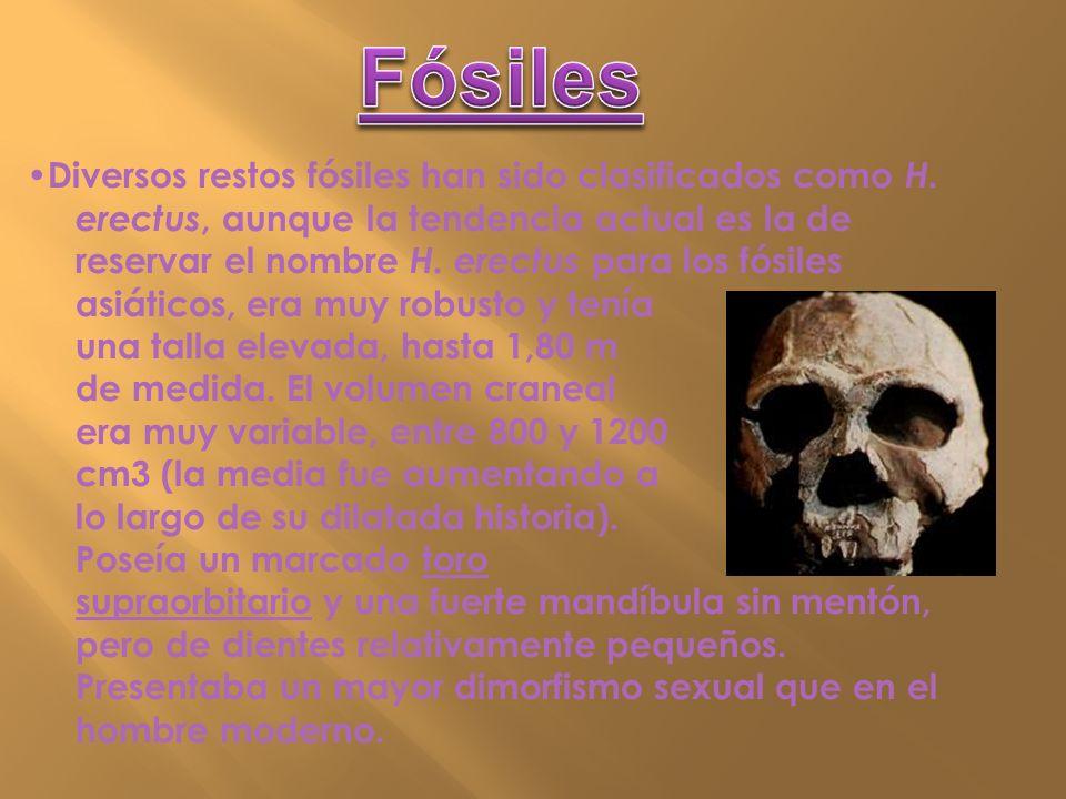 Diversos restos fósiles han sido clasificados como H. erectus, aunque la tendencia actual es la de reservar el nombre H. erectus para los fósiles asiá
