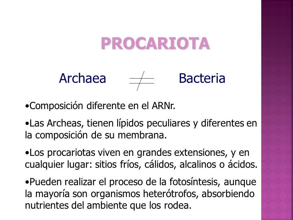 PROCARIOTA ArchaeaBacteria Composición diferente en el ARNr.