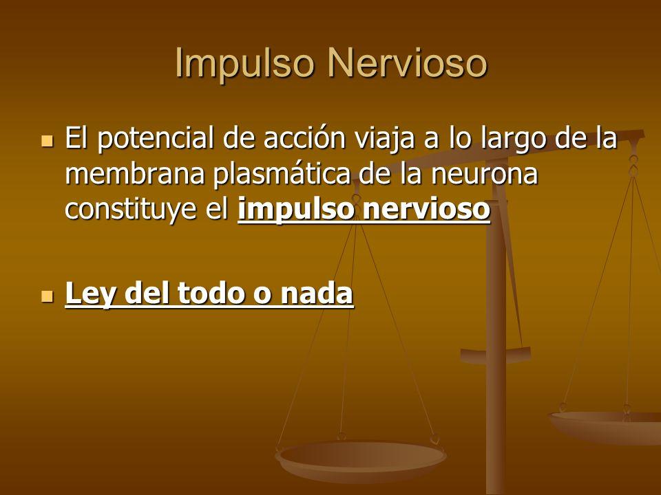 Impulso Nervioso El potencial de acción viaja a lo largo de la membrana plasmática de la neurona constituye el impulso nervioso El potencial de acción
