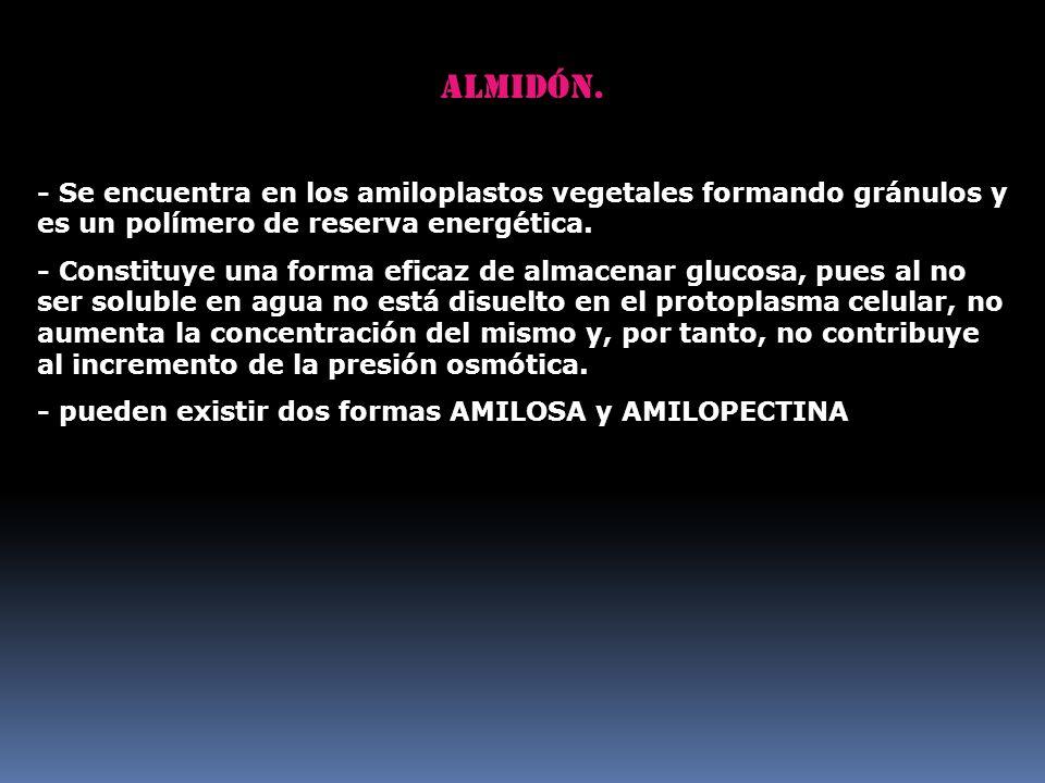 Almidón. - Se encuentra en los amiloplastos vegetales formando gránulos y es un polímero de reserva energética. - Constituye una forma eficaz de almac