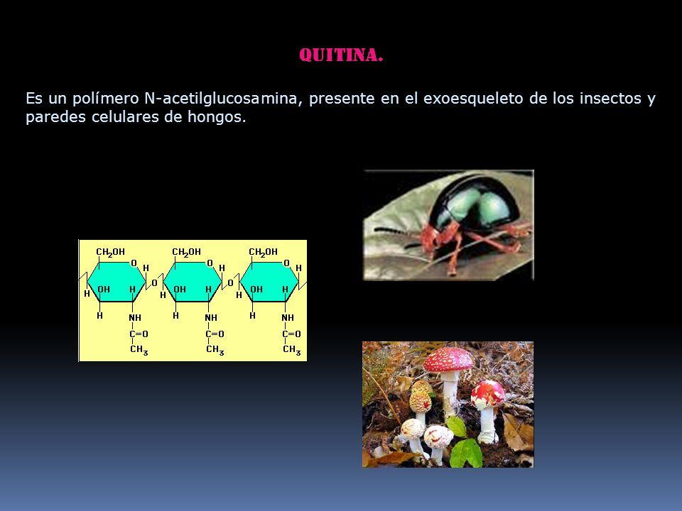 Quitina. Es un polímero N-acetilglucosamina, presente en el exoesqueleto de los insectos y paredes celulares de hongos.