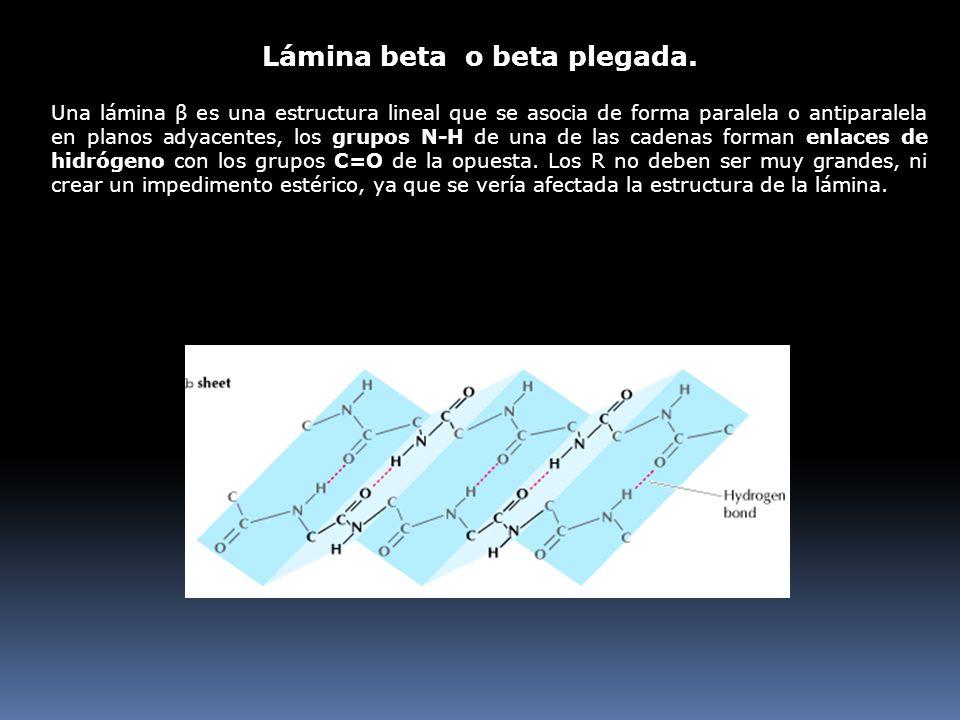 Una lámina β es una estructura lineal que se asocia de forma paralela o antiparalela en planos adyacentes, los grupos N-H de una de las cadenas forman