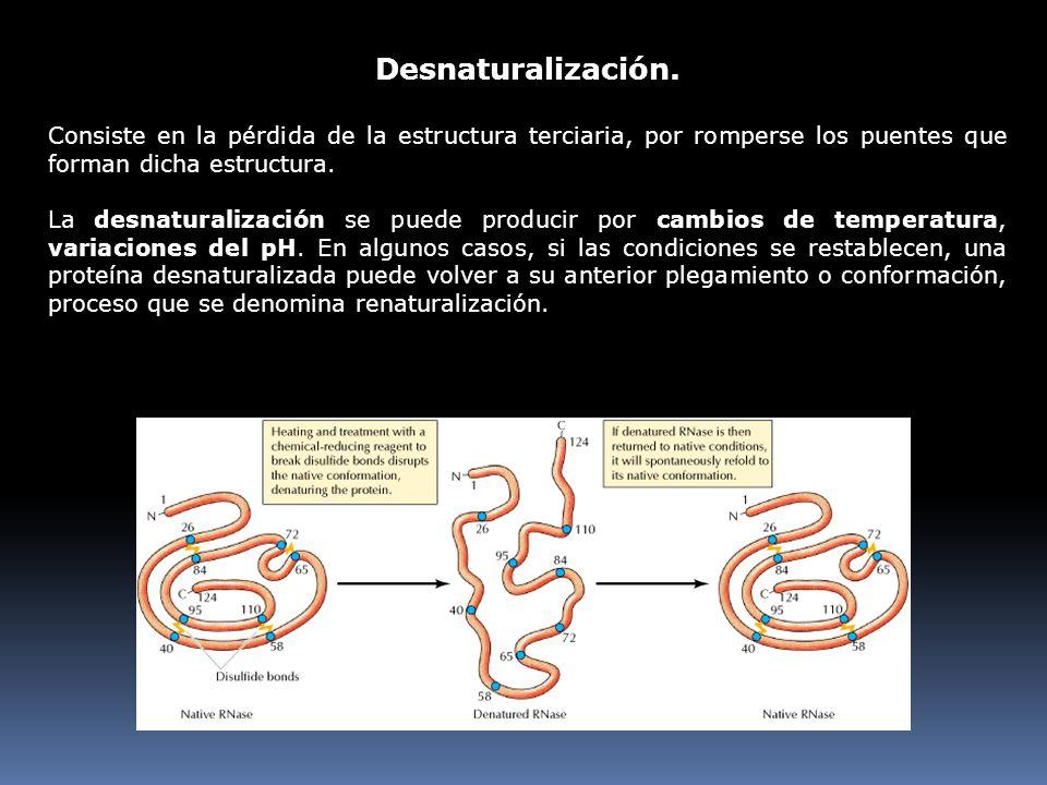 Desnaturalización. Consiste en la pérdida de la estructura terciaria, por romperse los puentes que forman dicha estructura. La desnaturalización se pu
