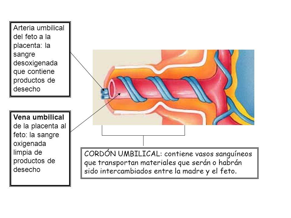 CORDÓN UMBILICAL: contiene vasos sanguíneos que transportan materiales que serán o habrán sido intercambiados entre la madre y el feto. Arteria umbili