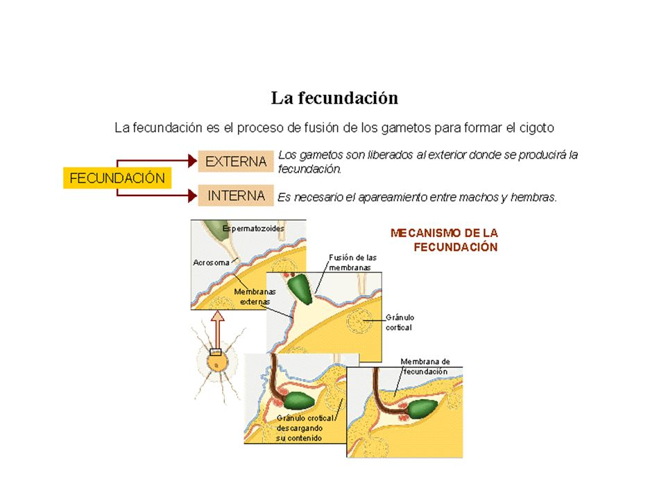 DESARROLLO INDIRECTO: Metamorfosis DIRECTO: membranas embrionarias Amnios Alantoides Corion Saco vitelino