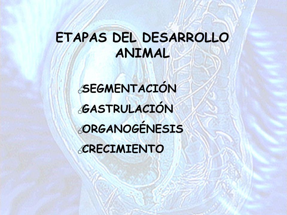 ETAPAS DEL DESARROLLO ANIMAL SEGMENTACIÓN GASTRULACIÓN ORGANOGÉNESIS CRECIMIENTO