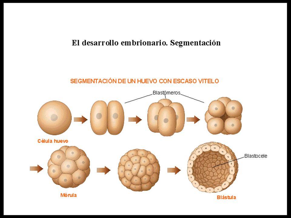 Derivación de tejidos adultos de capas embrionarias Capa embrionariaTejido adulto Ectodermo Epidermis de la piel, revestimiento de la boca y la nariz, pelo, glándulas de la piel, sistema nervioso, cristalino del ojo, oído interno Mesodermo Dermis de la piel, músculos, esqueleto, aparato circulatorio, gónadas, riñones, capas exteriores de los tractos digestivos y respiratorios.