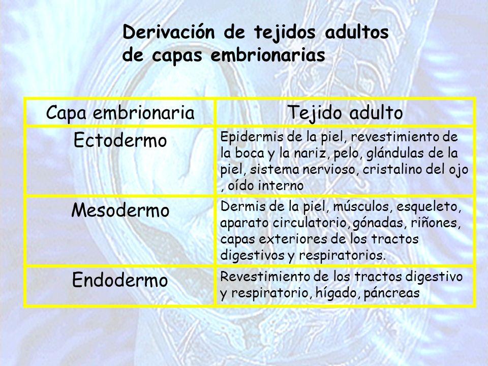 Derivación de tejidos adultos de capas embrionarias Capa embrionariaTejido adulto Ectodermo Epidermis de la piel, revestimiento de la boca y la nariz,