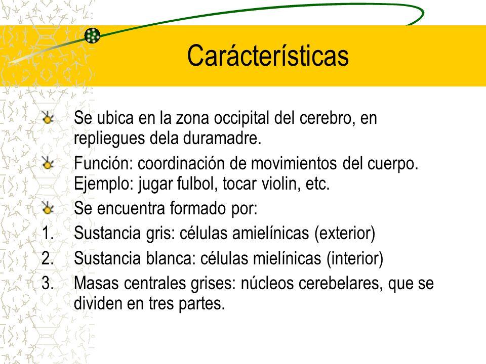 Carácterísticas Se ubica en la zona occipital del cerebro, en repliegues dela duramadre. Función: coordinación de movimientos del cuerpo. Ejemplo: jug