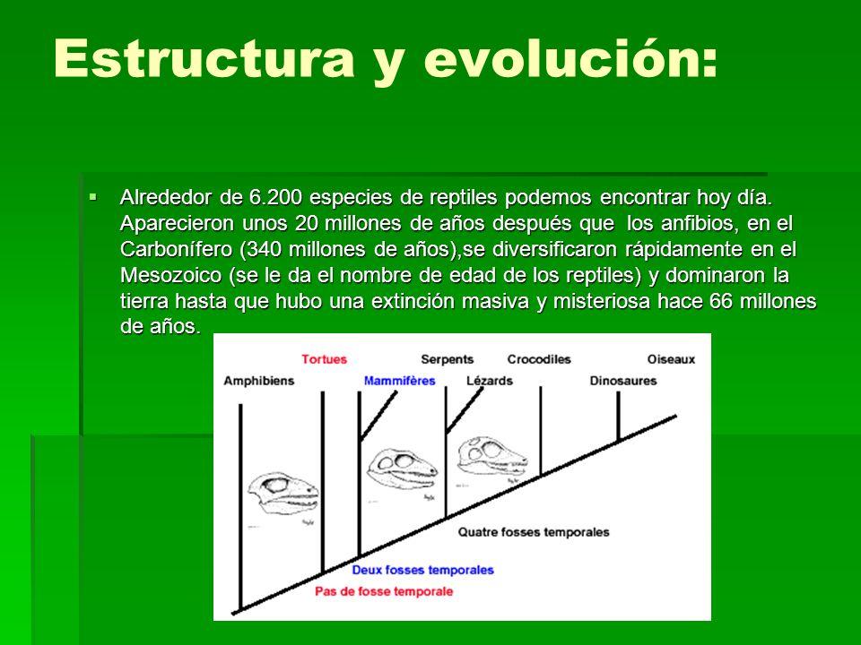 Estructura y evolución: Alrededor de 6.200 especies de reptiles podemos encontrar hoy día. Aparecieron unos 20 millones de años después que los anfibi