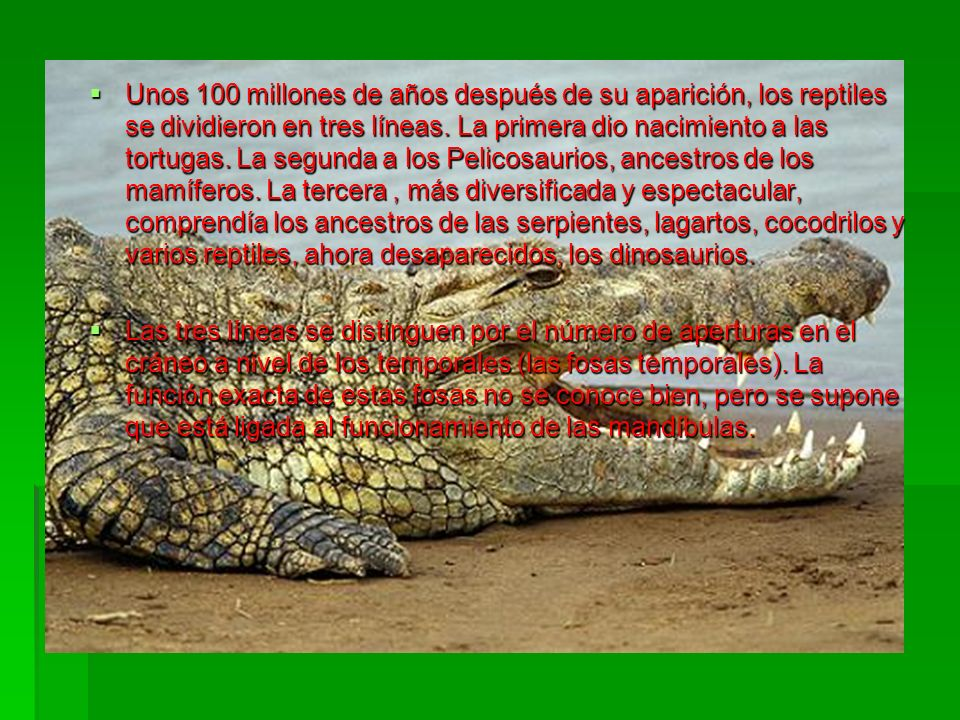 Unos 100 millones de años después de su aparición, los reptiles se dividieron en tres líneas. La primera dio nacimiento a las tortugas. La segunda a l
