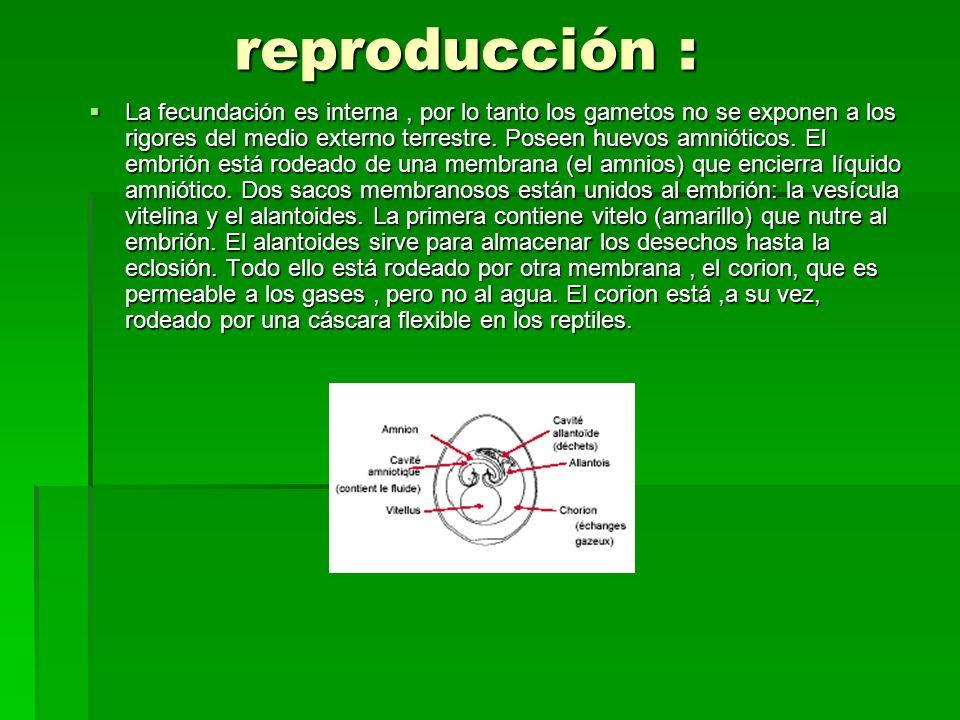 reproducción : reproducción : La fecundación es interna, por lo tanto los gametos no se exponen a los rigores del medio externo terrestre. Poseen huev