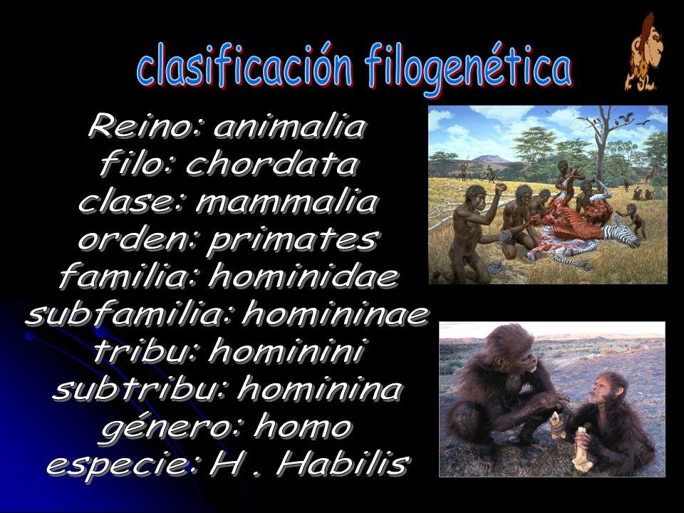 .- Cráneo más redondeado..- Incisivoses padiformes.(.- Molares grandes y con esmalte grueso..- Ausencia de diastema.(espacio entre dientes).- Foramen magnun (orificio mayor situado en la parte pósteroinferior del cráneo (base del cráneo) ubicado más hacia el centro...-Rostro menos prognato que los australopithecus..- Incisivo más grandes que los australopithecus..- Cara corta..-lenguaje kinésico Dato importante es un enorme incremento en su tamaño cerebral, que se ha calculado entre 650 cm3 hasta 800 cm3