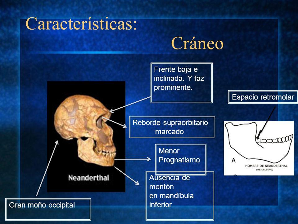 Frente baja e inclinada. Y faz prominente. Gran moño occipital Reborde supraorbitario marcado Menor Prognatismo Ausencia de mentón en mandíbula inferi