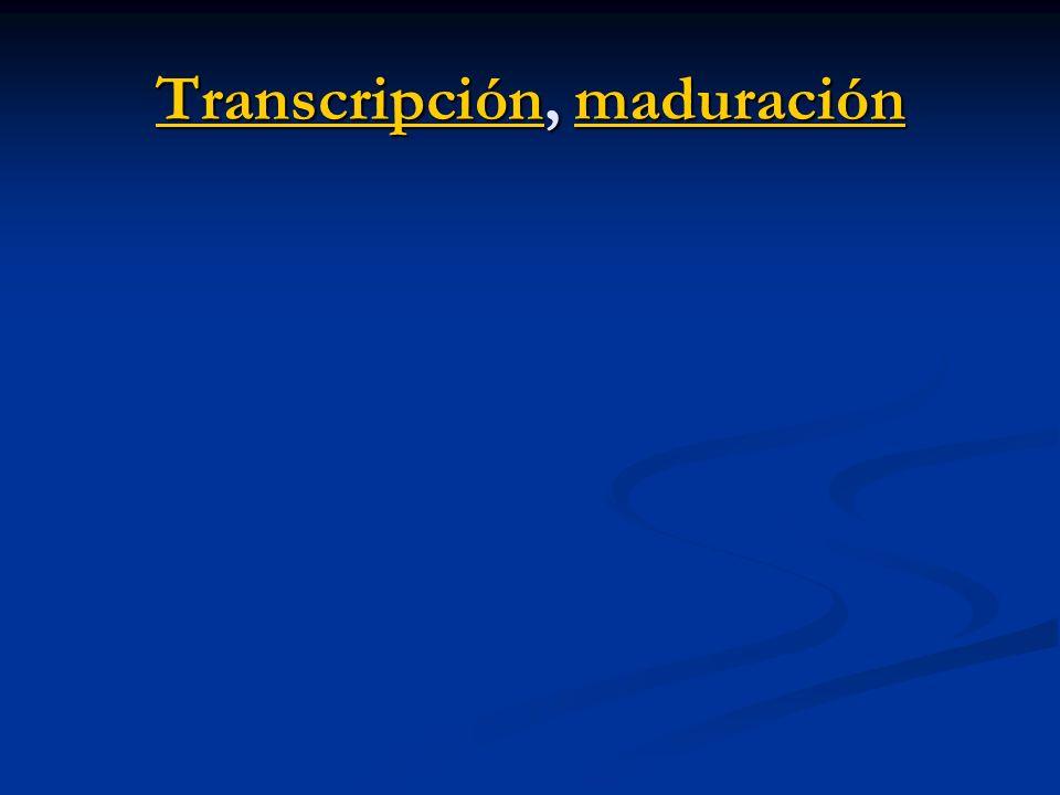 TranscripciónTranscripción, maduración maduración Transcripciónmaduración