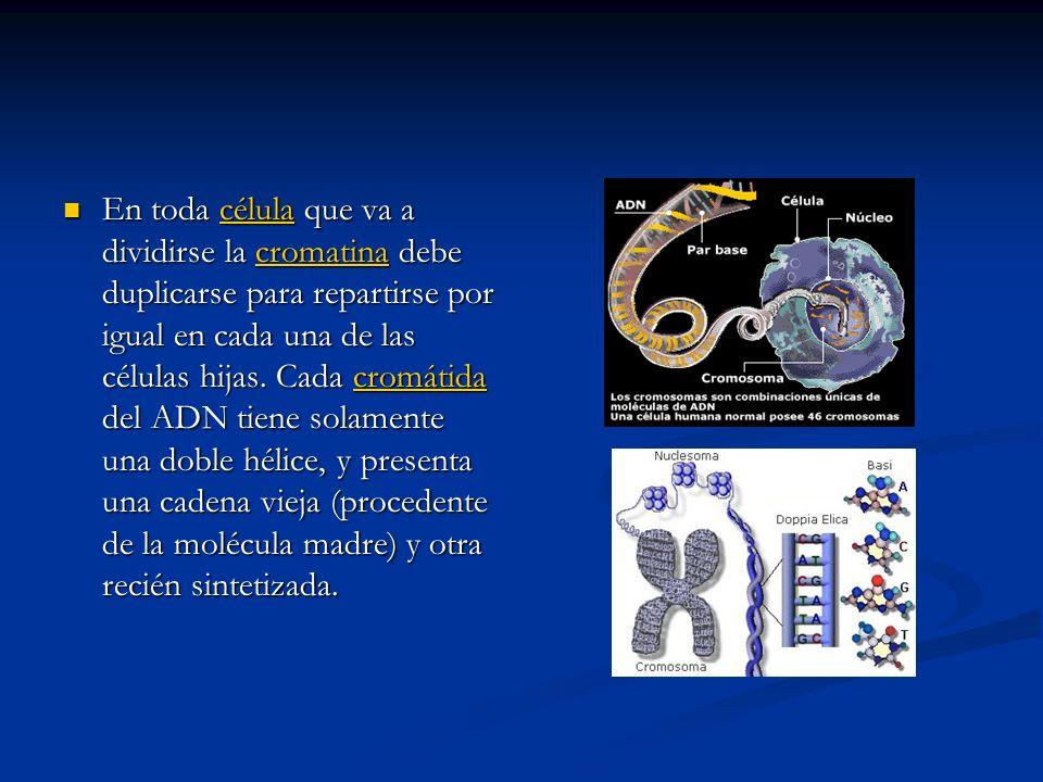 En toda célula que va a dividirse la cromatina debe duplicarse para repartirse por igual en cada una de las células hijas. Cada cromátida del ADN tien