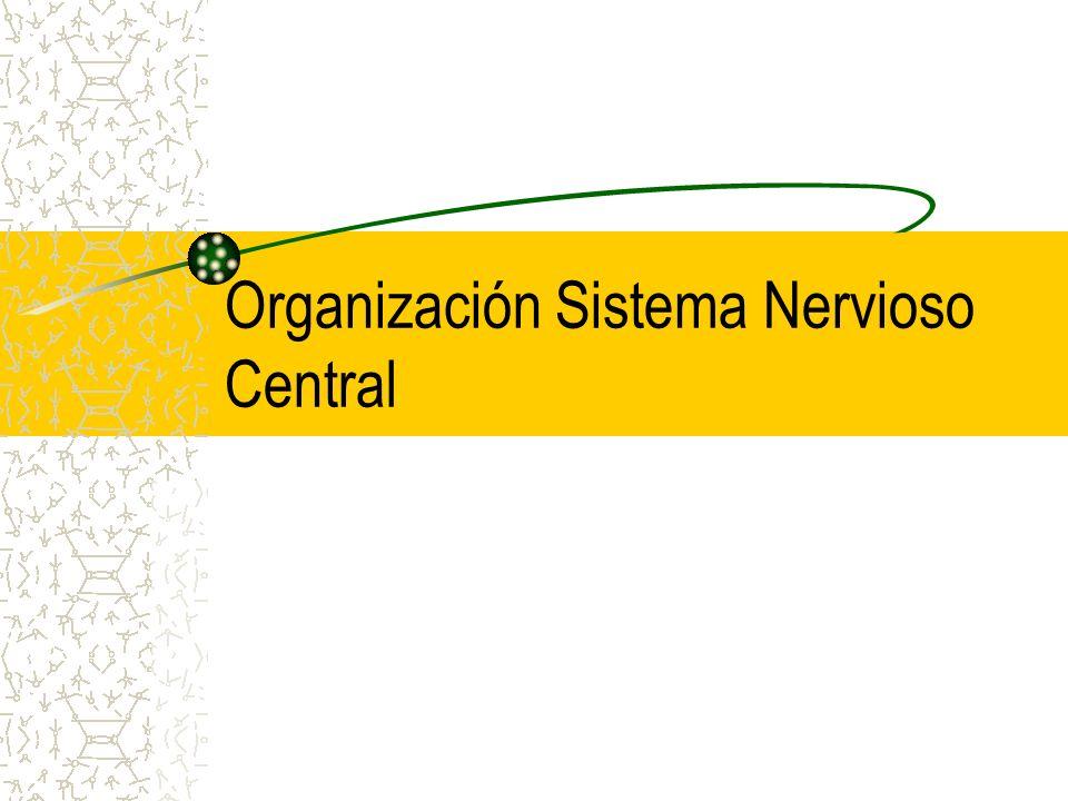Organización Sistema Nervioso Central