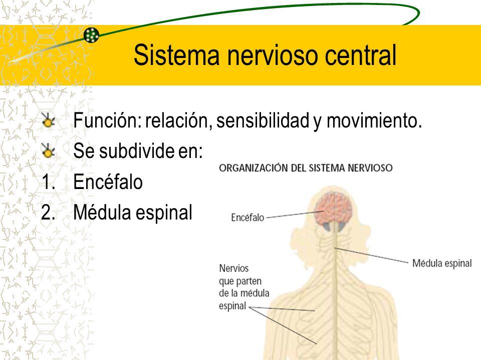 Sistema nervioso central Función: relación, sensibilidad y movimiento. Se subdivide en: 1.Encéfalo 2.Médula espinal