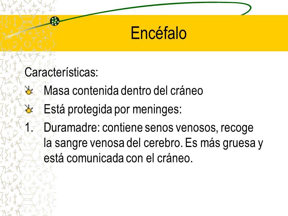 Encéfalo Características: Masa contenida dentro del cráneo Está protegida por meninges: 1.Duramadre: contiene senos venosos, recoge la sangre venosa d