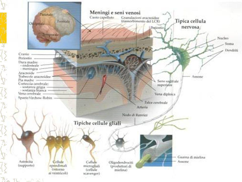 Se subdivide en: 1.Cerebro: el cual a su vez se encuentran:Cerebro Prosencéfalo: es el que origina al cerebro.