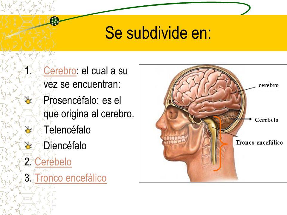 Se subdivide en: 1.Cerebro: el cual a su vez se encuentran:Cerebro Prosencéfalo: es el que origina al cerebro. Telencéfalo Diencéfalo 2. CerebeloCereb