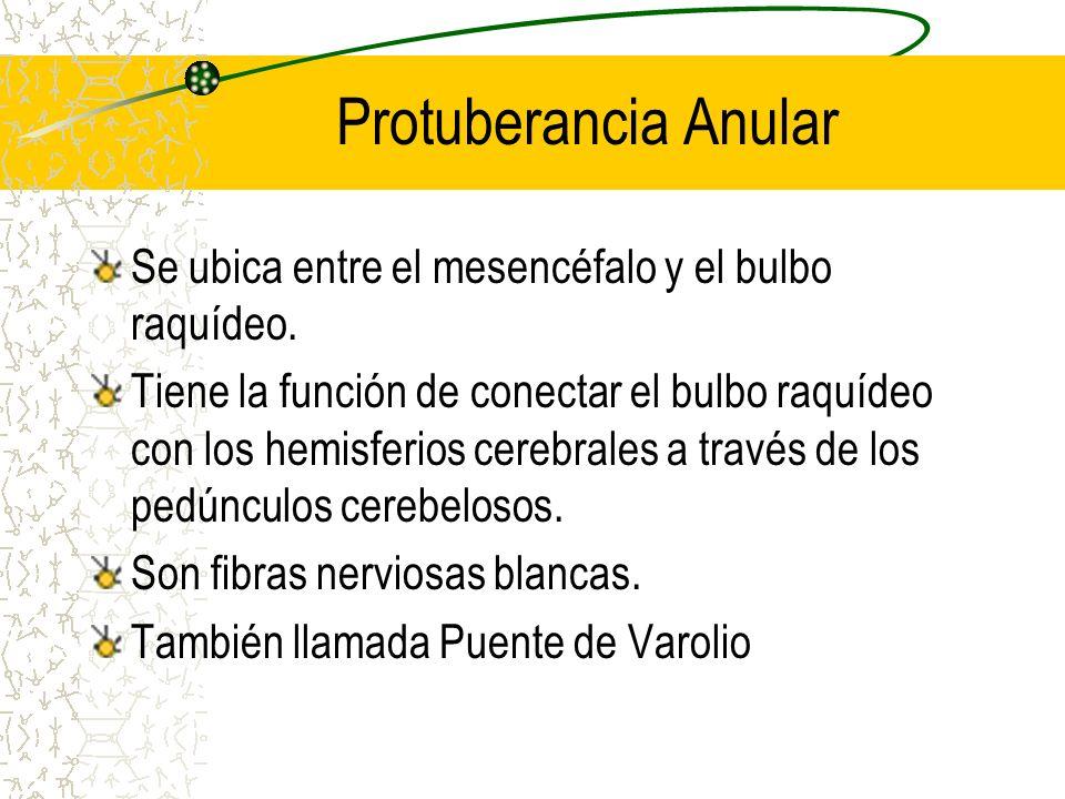 Protuberancia Anular Se ubica entre el mesencéfalo y el bulbo raquídeo. Tiene la función de conectar el bulbo raquídeo con los hemisferios cerebrales