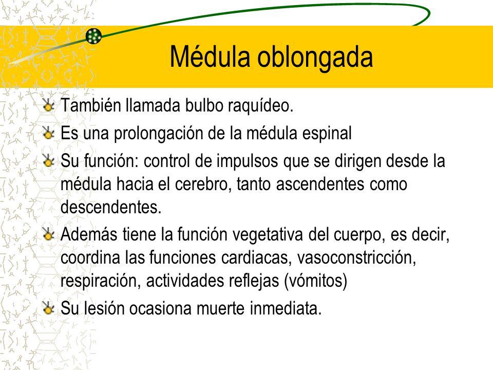 Médula oblongada También llamada bulbo raquídeo. Es una prolongación de la médula espinal Su función: control de impulsos que se dirigen desde la médu