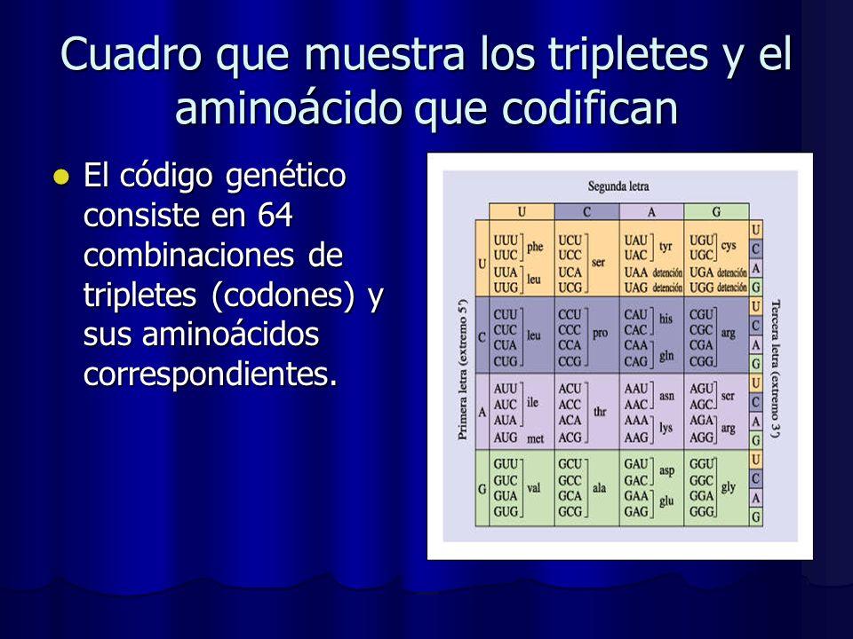Cuadro que muestra los tripletes y el aminoácido que codifican El código genético consiste en 64 combinaciones de tripletes (codones) y sus aminoácido