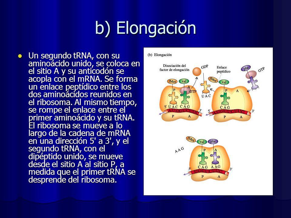 b) Elongación Un segundo tRNA, con su aminoácido unido, se coloca en el sitio A y su anticodón se acopla con el mRNA. Se forma un enlace peptídico ent