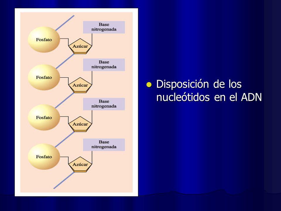 Disposición de los nucleótidos en el ADN Disposición de los nucleótidos en el ADN