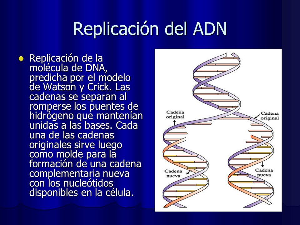 Replicación del ADN Replicación de la molécula de DNA, predicha por el modelo de Watson y Crick. Las cadenas se separan al romperse los puentes de hid