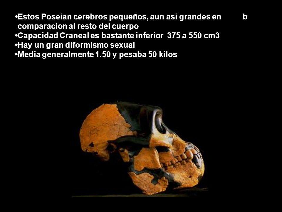 Estos Poseian cerebros pequeños, aun asi grandes en bcomparacion al resto del cuerpo Capacidad Craneal es bastante inferior 375 a 550 cm3 Hay un gran diformismo sexual Media generalmente 1.50 y pesaba 50 kilos