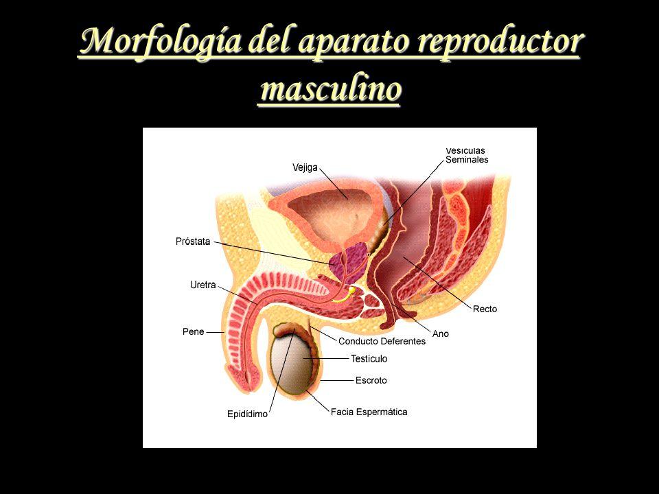 Morfología del aparato reproductor masculino