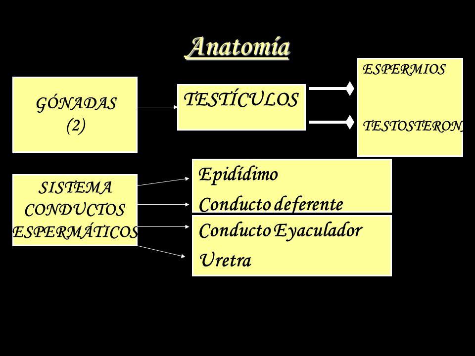 Anatomía GÓNADAS (2) TESTÍCULOS ESPERMIOS TESTOSTERONA SISTEMA CONDUCTOS ESPERMÁTICOS Epidídimo Conducto deferente Conducto Eyaculador Uretra