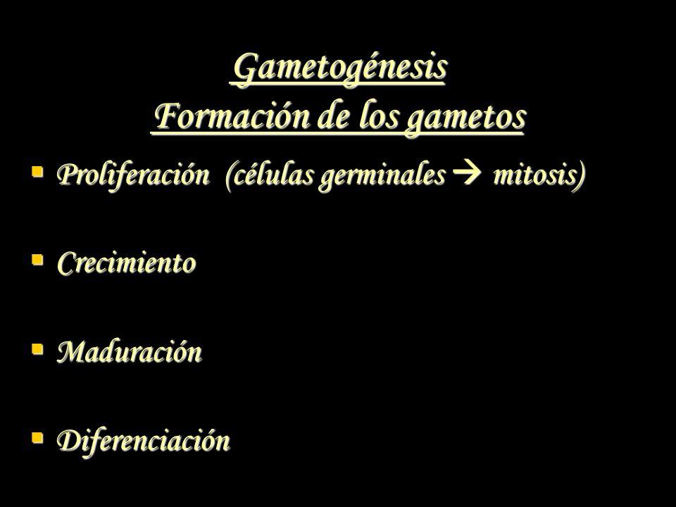 Gametogénesis Formación de los gametos Proliferación (células germinales mitosis) Proliferación (células germinales mitosis) Crecimiento Crecimiento M