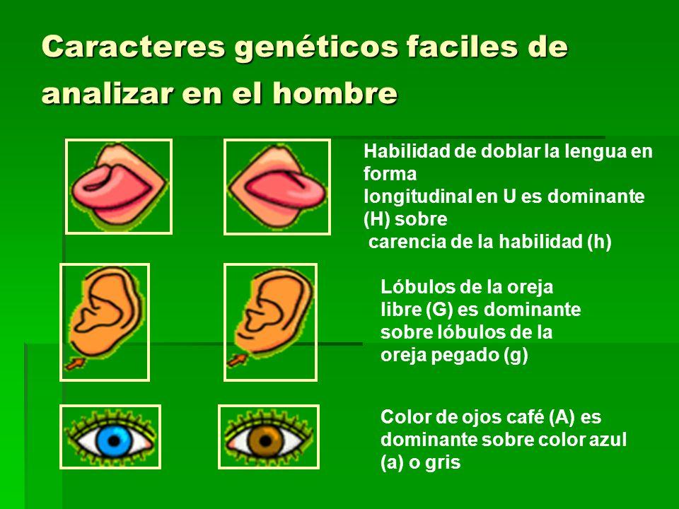 Caracteres genéticos faciles de analizar en el hombre Habilidad de doblar la lengua en forma longitudinal en U es dominante (H) sobre carencia de la h