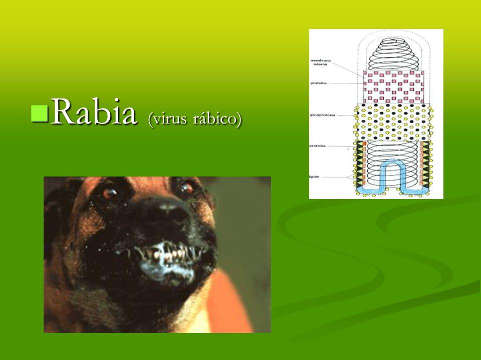 Rabia (virus rábico) Rabia (virus rábico)