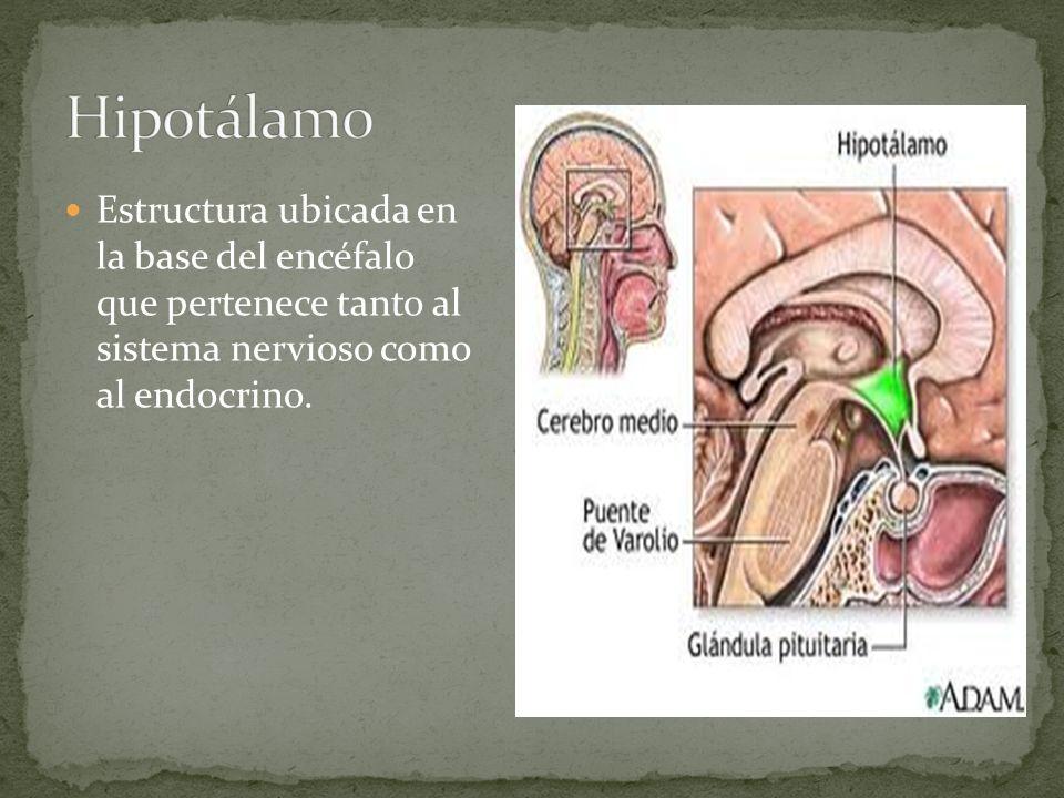 Estructura ubicada en la base del encéfalo que pertenece tanto al sistema nervioso como al endocrino.