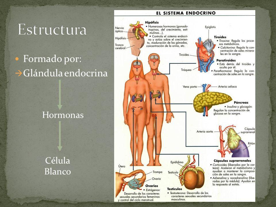 Formado por: Glándula endocrina Hormonas Célula Blanco