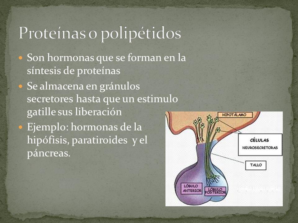 Son hormonas que se forman en la síntesis de proteínas Se almacena en gránulos secretores hasta que un estimulo gatille sus liberación Ejemplo: hormon