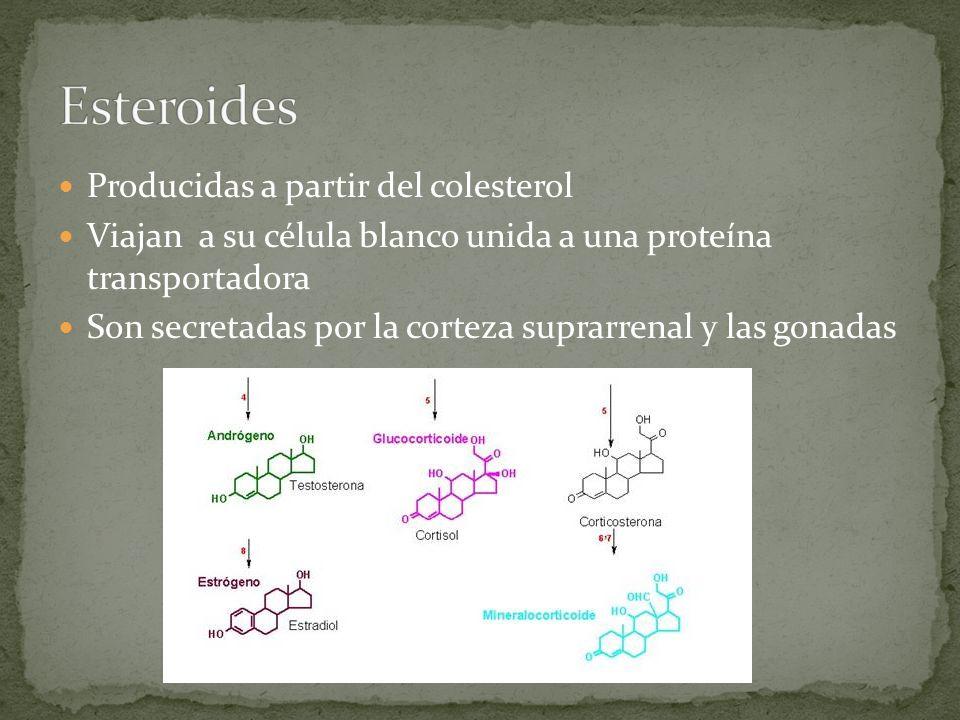 Producidas a partir del colesterol Viajan a su célula blanco unida a una proteína transportadora Son secretadas por la corteza suprarrenal y las gonad
