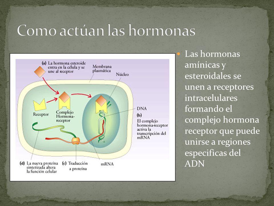 Las hormonas amínicas y esteroidales se unen a receptores intracelulares formando el complejo hormona receptor que puede unirse a regiones especificas