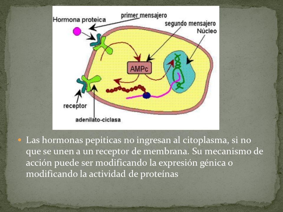 Las hormonas pepiticas no ingresan al citoplasma, si no que se unen a un receptor de membrana. Su mecanismo de acción puede ser modificando la expresi