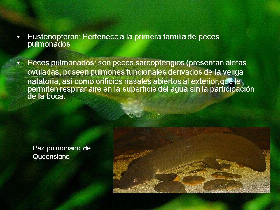 Eustenopteron: Pertenece a la primera familia de peces pulmonados Peces pulmonados: son peces sarcopterigios (presentan aletas ovuladas, poseen pulmon