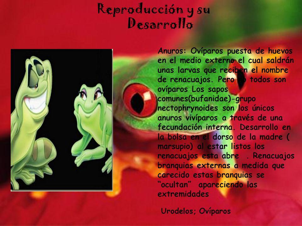 Reproducción y su Desarrollo Anuros: Ovíparos puesta de huevos en el medio externo el cual saldrán unas larvas que reciben el nombre de renacuajos. Pe
