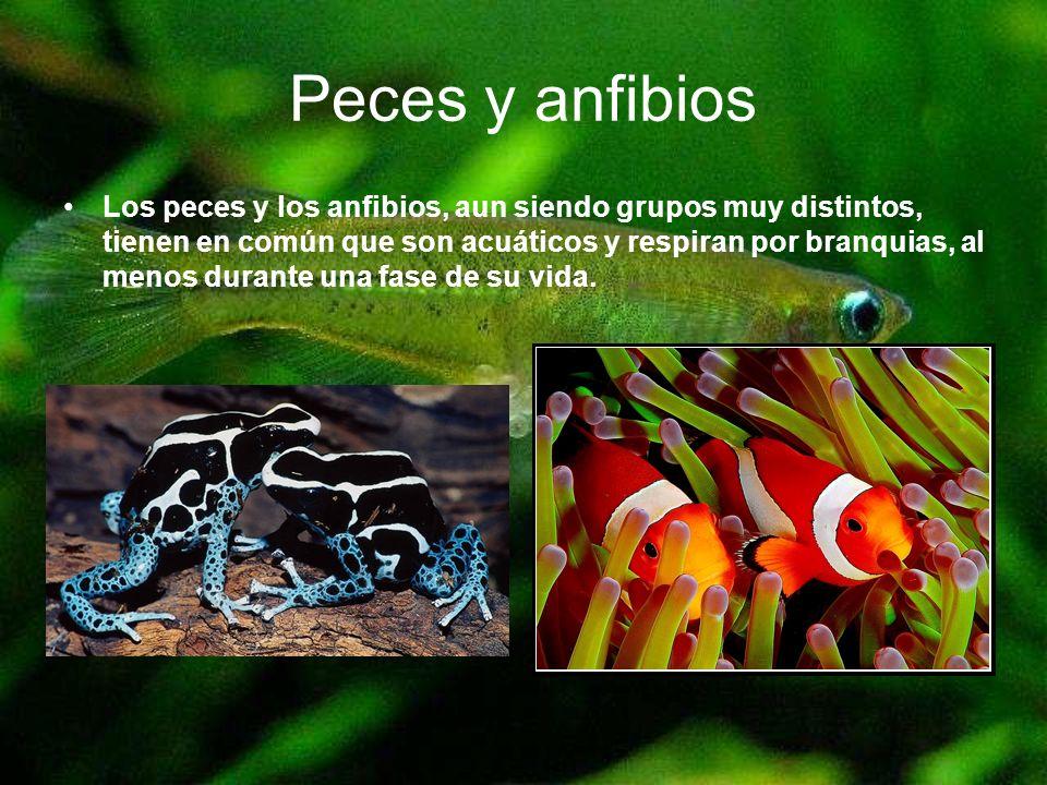 Peces y anfibios Los peces y los anfibios, aun siendo grupos muy distintos, tienen en común que son acuáticos y respiran por branquias, al menos duran