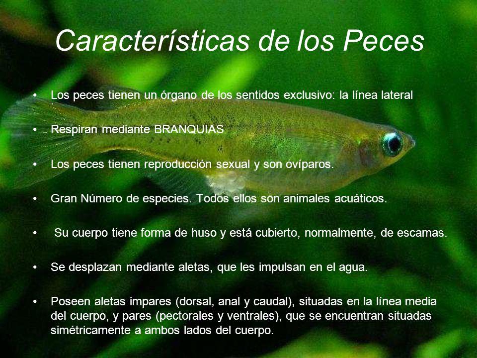 Características de los Peces Los peces tienen un órgano de los sentidos exclusivo: la línea lateral Respiran mediante BRANQUIAS Los peces tienen repro