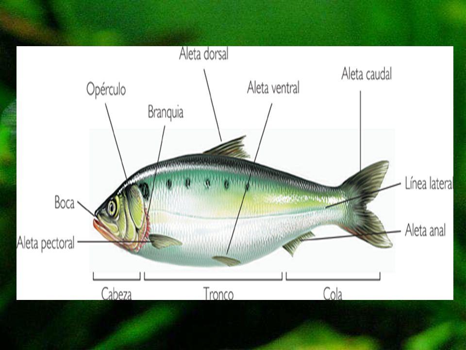 Características de los Anfibios Cuando nacen, son larvas acuáticas que se desplazan con una cola y respiran por branquias.