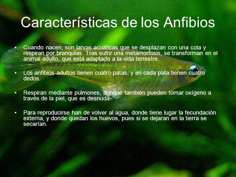Características de los Anfibios Cuando nacen, son larvas acuáticas que se desplazan con una cola y respiran por branquias. Tras sufrir una metamorfosi